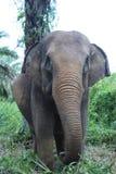 Sumateta słonie w konserwaci jednostki Aceh odpowiadającym wschodzie Zdjęcia Royalty Free