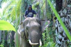 Sumateta słonie w konserwaci jednostki Aceh odpowiadającym wschodzie fotografia royalty free