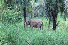 Sumateta słonie w konserwaci jednostki Aceh odpowiadającym wschodzie zdjęcia stock