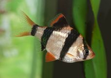 Sumatra barb. Aquarium fish Royalty Free Stock Image