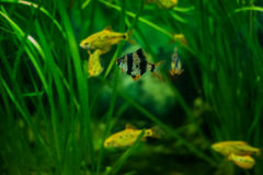 Sumatra barb fish in the aquarium Royalty Free Stock Photo