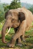Sumatra Elephant. From an elephant school in Sumatra Royalty Free Stock Images