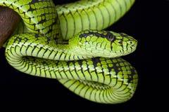 Sumatra pit viper (Parias sumatranus) Stock Images