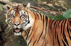 sumatra tiger Royaltyfri Bild