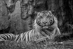 Sumatra tiger. Tiger in black and white photo stock images