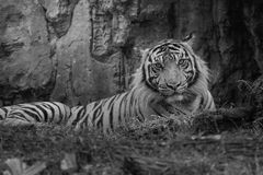 Sumatra tiger. Tiger in black and white photo Stock Photos