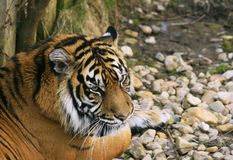 Sumatra-Tiger/Panthera Tigris sumatrae/ Stockfoto