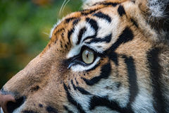 Sumatra tiger portrait close up while looking at you Royalty Free Stock Photos