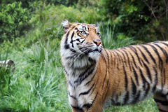 Sumatra Tiger, profile view Royalty Free Stock Images