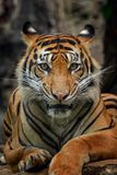 Sumatra tiger. Relax and stare with his sharp eyes Royalty Free Stock Photos