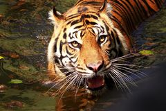 Sumatra tiger on the river stock photo