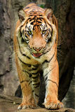 Sumatra tiger. Smallest tiger in tiger species stock photography