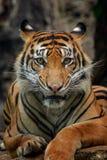Sumatra tygrys zdjęcia royalty free