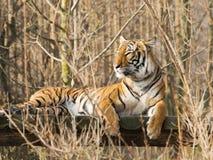 Отдыхая тигр sumatran Стоковые Фото