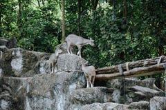 Sumatraensis de capricornis de Serow dans le safari de nuit de Chiangmai photographie stock