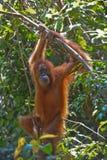 Sumatran猩猩 免版税库存图片