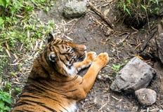 Sumatran老虎豹属镇静地说谎在地面上的底格里斯河sondaica 库存图片