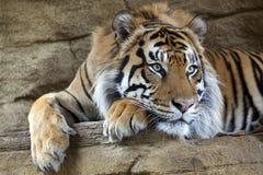 Sumatran老虎 库存图片