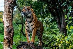 Sumatran老虎 免版税库存图片