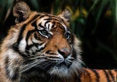 Sumatran老虎 免版税库存照片
