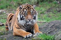 Sumatran老虎 库存照片