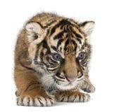 Sumatran虎犊,豹属底格里斯河sumatrae,3个星期年纪 库存照片