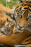 Sumatran虎犊 库存照片