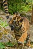 Sumatran虎犊 免版税库存照片