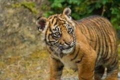 Sumatran虎犊 图库摄影