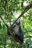 Sumatran-Affe Lizenzfreies Stockbild