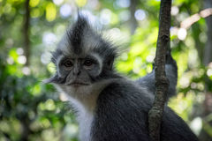 Sumatran apa royaltyfri fotografi