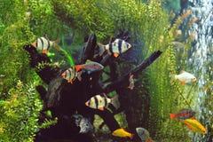 Free Sumatran Barbs In The Aquarium. Stock Photography - 141919572