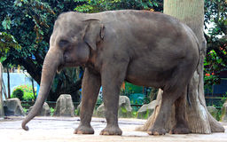 Sumatran elefant Royaltyfria Foton