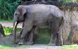 Sumatran elefant Arkivfoto