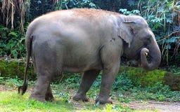 Sumatran elefant Arkivbilder