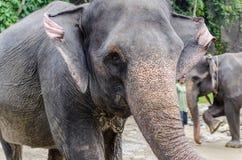 Sumatran-Elefanten in Sumatra Indonesien Lizenzfreies Stockbild