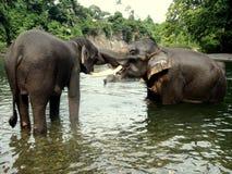 Sumatran elephans, medan kyssa i floden Arkivfoton