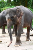 Sumatran Elephant. Is a subspecies, Elephas maximus sumatranus, of Asian Elephant. As the name suggests, the elephant is only found in Sumatra. The  is smaller Stock Photography
