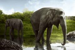 Sumatran elephant drinking water Stock Photos