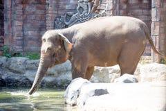 Sumatran elephant Elephas maximus sumatranus, Indonesia Stock Photo