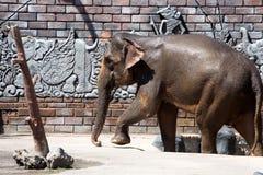 Sumatran elephant Elephas maximus sumatranus, Indonesia Royalty Free Stock Photos