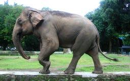 Sumatran elephant Royalty Free Stock Photos