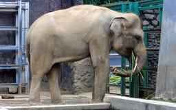 Sumatran elephant Stock Photo