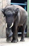 Sumatran elephant Stock Photos