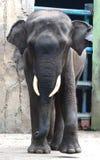 Sumatran elephant Royalty Free Stock Photo