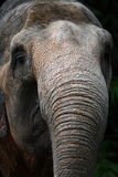 Sumatran Elephant Trunk. Very detailed Stock Image