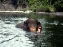 Sumatran elephant while wading in the river Royalty Free Stock Photo