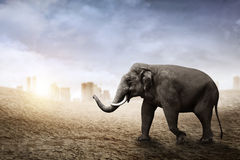 Sumatran elephant walk on the desert. With city background stock images