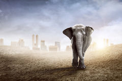 Sumatran elephant walk on the desert Royalty Free Stock Images