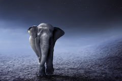 Sumatran elephant walk on the desert Royalty Free Stock Photography